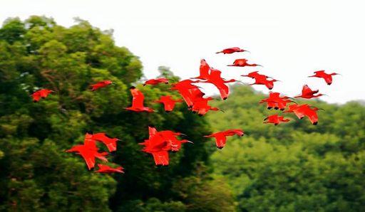 dead scarlet ibis